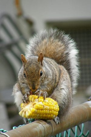 corn for squirrels